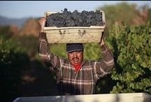 Harvest in Wine Country