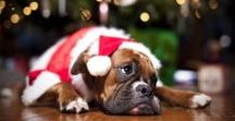 A Boxer Christmas / Christmas time with beautiful babies