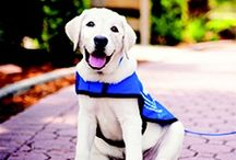 Super Cute Guide Dogs! / by Growing Up Fisher