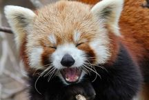 Red Pandas / At Kawaii Animals we love all animals.  Check out our online store of unusual animal themed toys and gifts.  www.kawaiianimals.com   www.facebook.com/mykawaiianimals   @MyKawaiiAnimals
