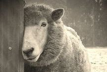 Sheepish / Sheep, the bread and butter of many a livestock farmer.