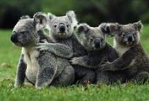 Koalas... Cute as. / Hats off to my favorite animal since childhood! **Help yourself to all the pins you like. Only nobs impose limits on how many pins you can take. I block nobs.** / by Deborah Ann Miller