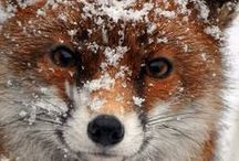 Foxes / Beautiful pictures of lots of different kinds of foxes, and some facts here and there.