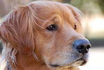 Goldens. / Wonderful golden pups and doggies.