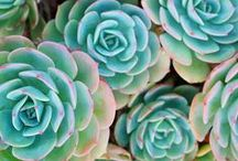 Succulents / Everything Succulent !