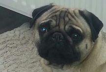 Pugs  **Mopshonden**