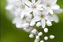 Flowers  **Bloemen**