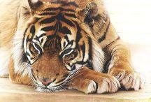 TIGER <33 grrrrr! / I'm as wild as a Tiger <3  (animals)