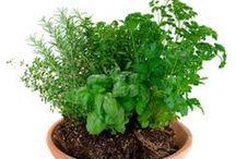 Gyógynövények / egészséges életmód kellékei használatuk, feldolgozásuk termesztésük otthon stb.