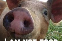 Don't eat a pig / Eating a pig is like eating your dog!
