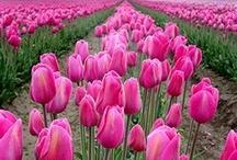 Tulip ❤