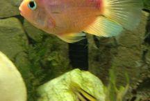 Cichlids  / Beautiful cichlids