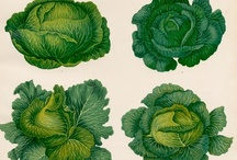 cabbage / by Carole Bowman