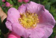 Roses, ruusuja Suomessa / Roses in Finland