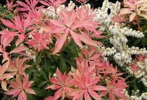 Pieris / Andromeda, Japanese andromeda, lily of the valley shrub / by Karen Hine