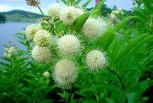 Cephalanthus / Buttonbush, honeyball / by Karen Hine