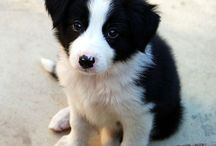 Puppies / I cannot resist puppies, especially border collies!
