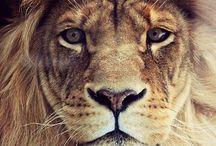 Leones / Lions / Simplemente los amo