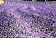 Fleurs de la Provence 南仏の花 / 「南仏は花が生まれる場所、パリは花を売るブティック」(ジャン・コクトー)