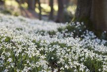 Galanthus - Snowdrops