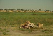 Tanzanie / Safari