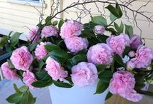Debutante Camellias