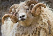 Барашки Sheep / бяшки)