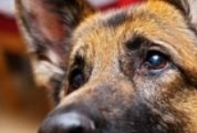 Love 4 The German Shepard Dog