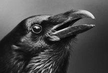 Birds, mostly black birds / birds black birds pájaros  ocells