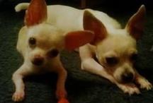 Chihuahuas / by Nancy Pittman