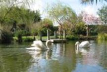 """Our past garden / We were lucky enough to have 12 years at this park like garden - one of the many attractions was the swans - we could write a book about them - the highlight was when we managed to obtain a female swan (pen) for the male swan (cob) who had been a """"widower"""" for 2 years. When the female was only 2 years old she laid 6 eggs and one hatched out with a young cygnet."""