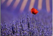 Lavender Dreams / Lavender Colours and Atmosphere