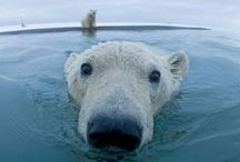 Polar Bears / Polar bears have evolved for a life on the sea ice, which they rely on for reaching their seal prey. But the arctic sea ice is rapidly diminishing due to a warming earth, affecting the entire arctic ecosystem, from copepods to seals to walruses.