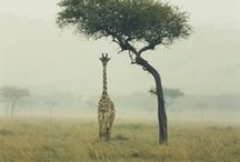 Giraffes / by Rikki Snyder