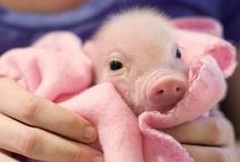 Pigs / Cute piggies