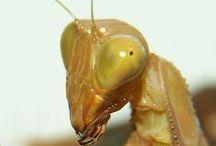 Gottesanbeterinnen - Mantis / Mantidendealer – Die Spezialisten für Mantis & Insekten