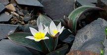Tulipa Regelii / Rare tulipa from kazakhstan