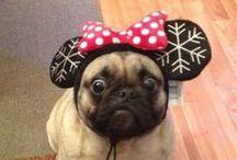 The Pug. / Pugs.