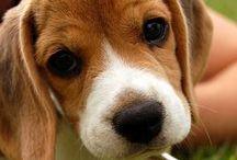 Cuatro patas ♥ ♥ ♥ / Beagles - Perros - Gatos - Amor