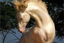 Horse Akhal-Teke