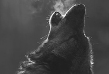 ANIMALS...Wolves, Coyotes 'n Kinfolk 1. / by Ronnie Turner