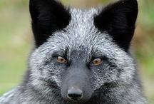 ANIMALS...Foxy / by Ronnie Turner
