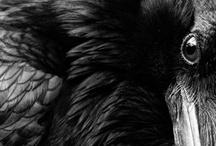 BIRDS...Corvidae <3 / by Ronnie Turner