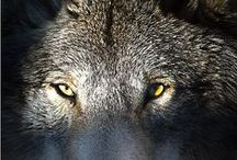 ANIMALS...Wolves, Coyotes 'n Kinfolk 2 / by Ronnie Turner
