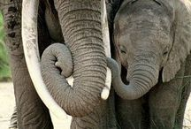 Olifante (elephants)