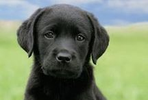 Labrador Retriever Daily / Labrador Retrievers are so sweet and intelligent. That's why we love them so much.