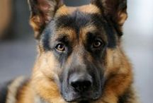 German Shepherd Buzz / German Shepherds, the ultimate protectors, loving, faithful and always by your side, waiting for some love and affection. Oh, and are so beautiful!