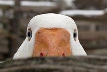 Poultry / Poultry / by Greg Brandon