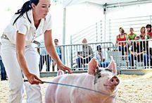 4-h pigs / by Madelynn Weaver ✌
