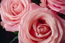 Flowerlink - Rose Varietes / Flowerlink carries over 286 varieties of roses including spray roses, garden roses, and premium select hydrangea. All delivered directly to our clients no later than three days after they've been cut from the plant.